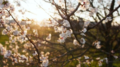 Blooming tree on sunset. White flowers on a tree in the spring park. Spring garden