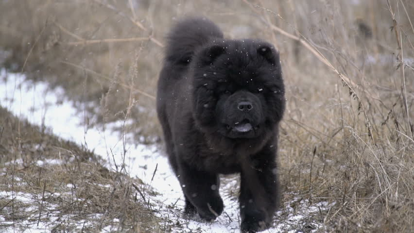 Cute black chow-chow puppy running across the field