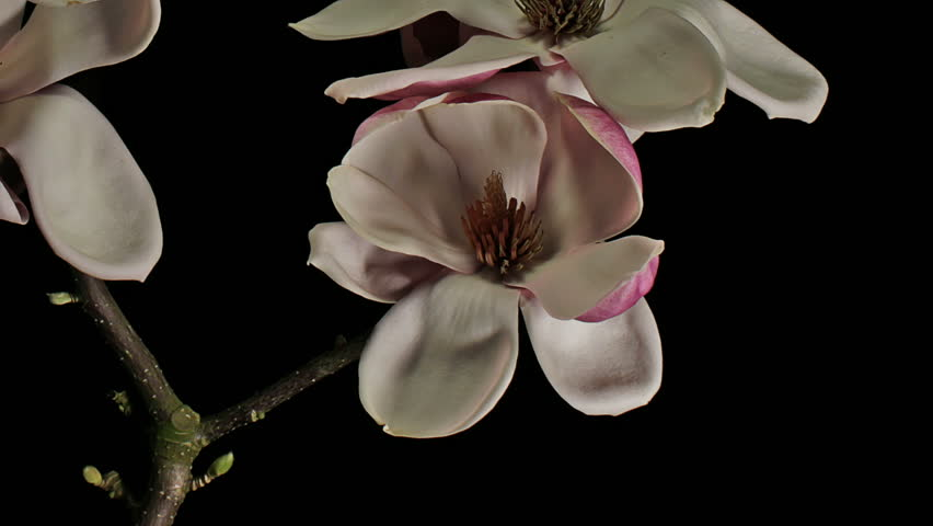 Static medium close up time lapse shot of a purple, pink and white magnolia flower on a branch midst other magnolia flowers budding, blooming, flowering, dying and wilting against a black background.