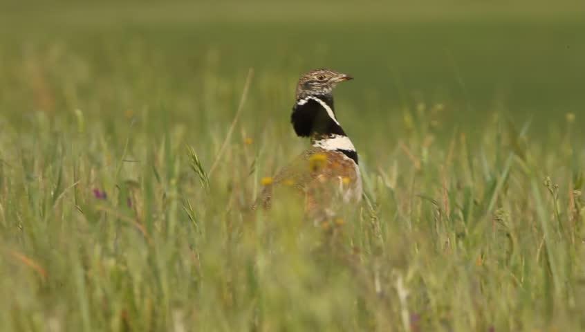 Male of Little bustard singing in the mating season. Tetrax tetrax