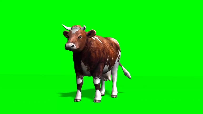 cow - brown cow standing motion - isolated  green screen
