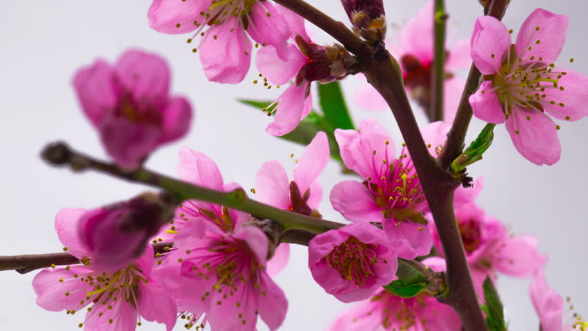 Pink Flowers Blossoms on the Branches Cherry Tree. Timelapse. 4K.