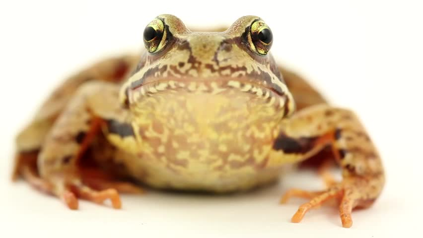 brown frog on white front view