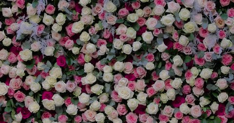 4k video of wall from roses, is a lot of flowers of different color, ornament, holiday registration, a press wall, white, pink and red roses, Video from a bottom to top, love flowers, romantic day
