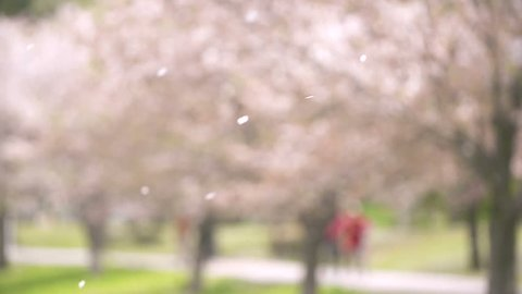 Cherry Blossoms Shower in Spring Wind, 180fps
