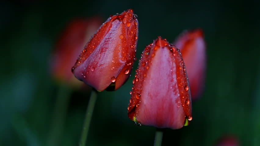 Red tulip flowers in drops of night dew, swaying in the wind, looping