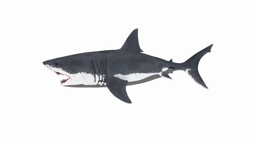 Side view 3D animation of a swimming great white shark. Includes luma matte and seamless loop. Most suitable for aquatic themed productions.  #26233691