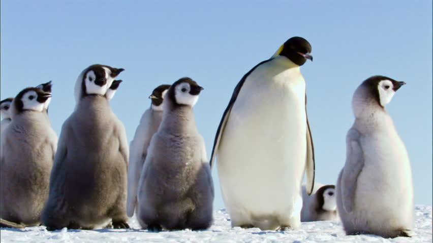 Family of emperor penguins standing against blue sky / Antarctica