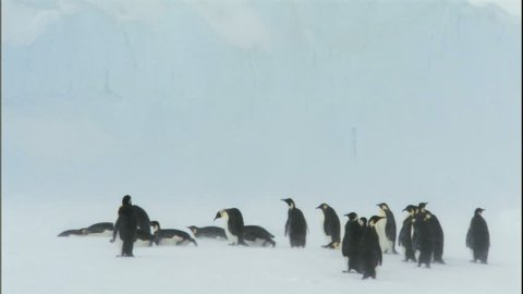 WS Emperor penguins (Aptenodytes forsteri) standing and sliding in snowstorm / Antarctica
