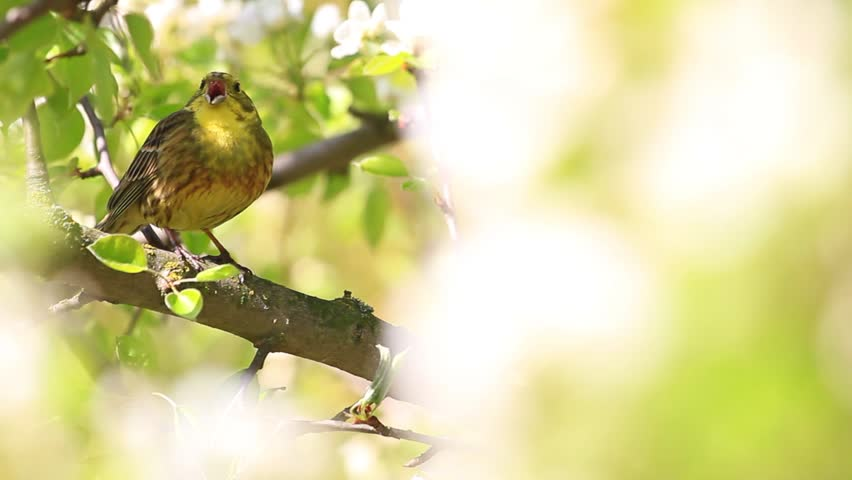 Yellowhammer singing beautiful yellow bird the song of spring song birds singing in the flowers in the treessong birds singing in the flowers mightylinksfo Image collections