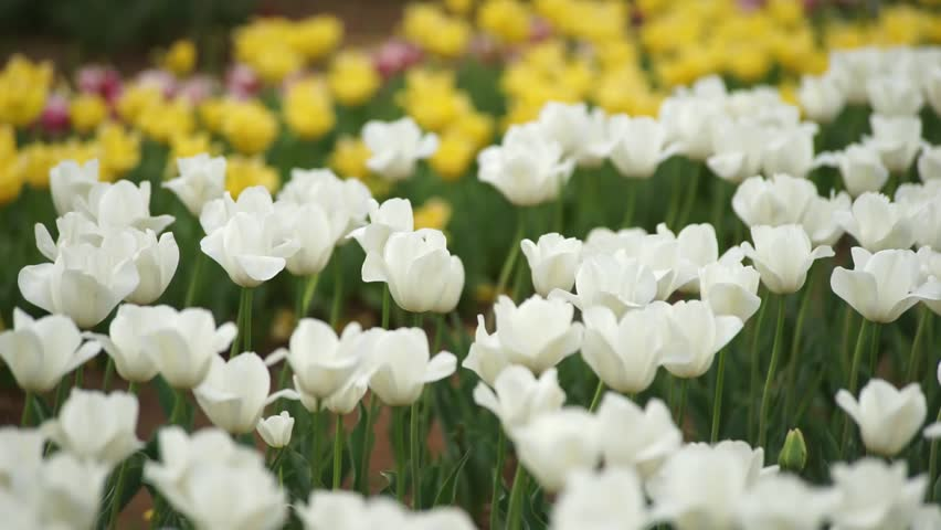 Tulip.  colorful tulips. tulips in spring.  | Shutterstock HD Video #26319701