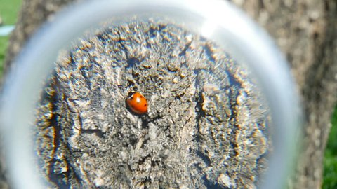 Ladybug sits on the bark of a tree in spring. Somebody studies a ladybird in nature with a magnifying glass