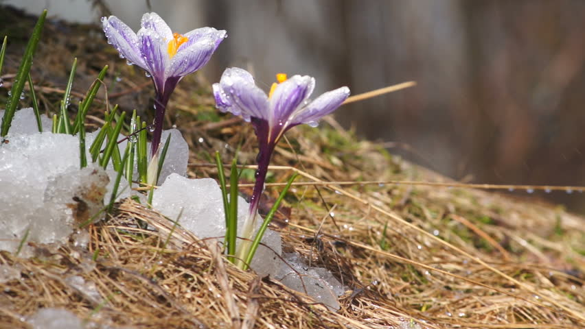 First Spring Flowers Crocus With Stock Footage Video 100 Royalty