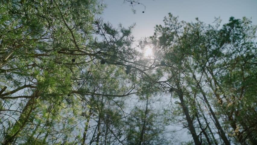 Looking up at sun shining through evergreen trees needles #26476133