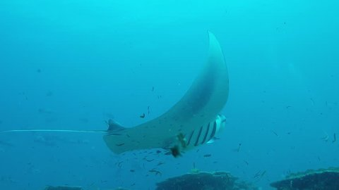 Manta Ray swimming on a cleaner station to get rid of parasites by cleaner wrasses.