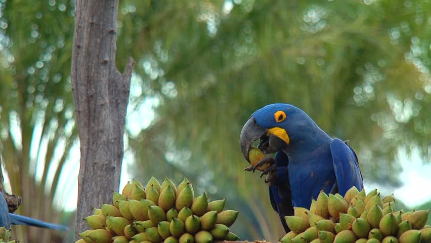 Parrot, macaw blue
