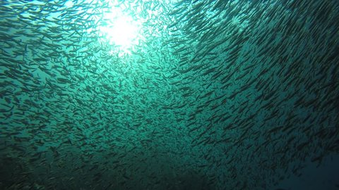 School of Sardines fish in ocean