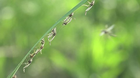 Mosquitoes and gnats sit on stems of green grass on meadow near marsh