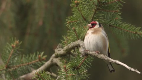 Goldfinch on a tree - springtime, building a nest