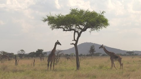 AERIAL, CLOSE UP: Two giraffas necking gently and chilling in shade under big acacia tree canopy. Giraffes on open field in African savannah grassland woodland feeding on dry grass and low fever trees