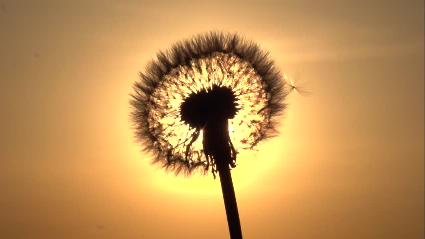 Dandelion. The wind blows away dandelion seeds. Dandelion seeds beautifully spin in the sun. Slow motion 240 fps. High speed camera shot. Full HD 1080p.