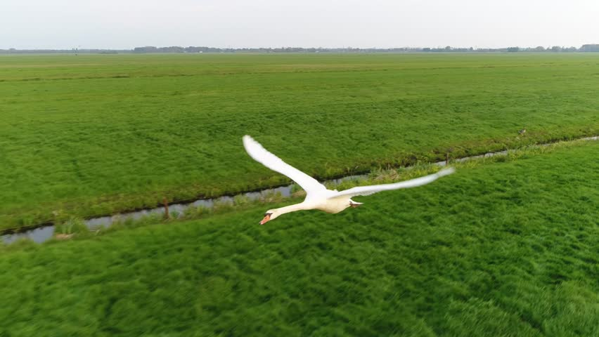Aerial of white mute swan in flight drone flying backwards in front of the large animal showing the elegant flight flapping its wings and gaining altitude above pasture with small canals in between 4k