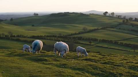 Sheeps at landscape in Ireland/ Irish landscape / Sheeps on the hills in Ireland