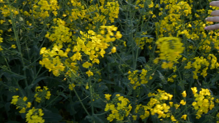 Stock video of broccoli yellow flowers waving in the 23521882 4k0021womans hand caressing sunny rapeseed canola field crops slow motion 4k mightylinksfo
