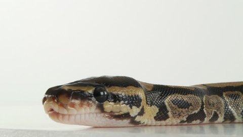 Python hatchlings