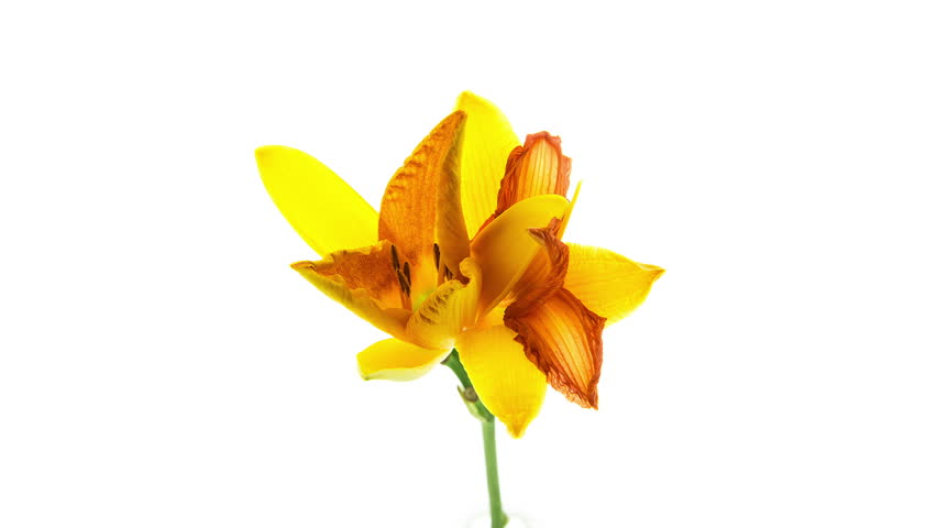 Timelapse of two yellow orange daylily flowers blooming and fading on white background