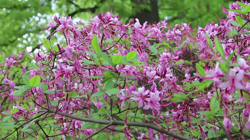 Close up footage of pink azalea flowers blossoming and swaying gently in the Spring wind.