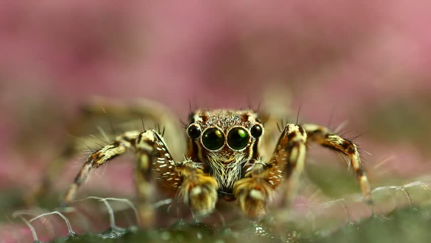 Extreme macro shot of jumping spider in wild. Jumping spider is very small. Jumping spider on pink leave. Selective focus. #26821786