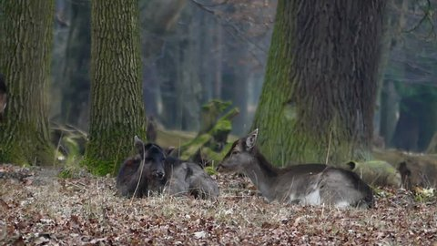 One Deer Gets up and Raises the Tail and the Second One Lying Down Chewing the Grass. Filmed in Real Time.