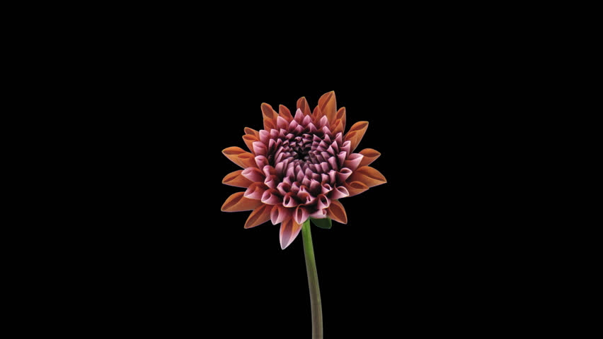 Time-lapse of growing and opening orange dahlia (georgine) flower 5a4 in UHD 4K PNG+ format with ALPHA transparency channel isolated on black background