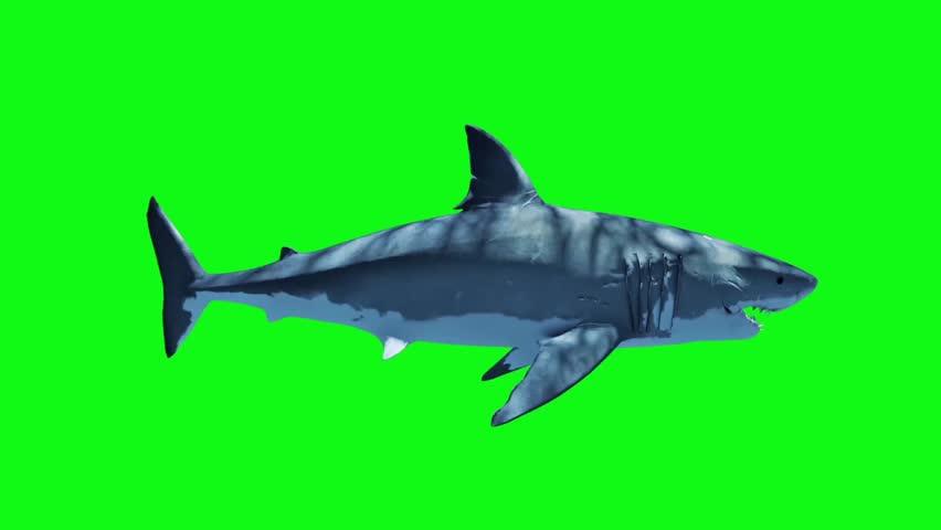 White Shark Swim Fast Loop Side Green Screen 3D Rendering Animation