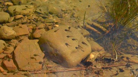 Tadpoles are swimming in shallow pond. Early stage frog tadpoles of development into amphibians are swim around a pond. Tadpoles in the pond moving in clear water. group  tadpoles in river side pool.
