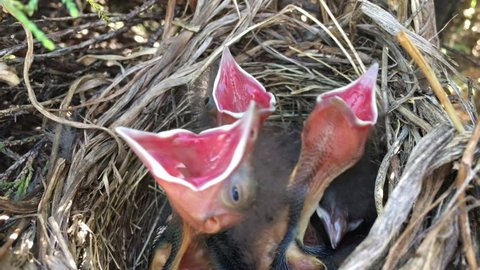 Baby birds in nest with beginning of clip somewhat subtle; then one bird starts to open it's mouth to sky and then two others join in thereafter.