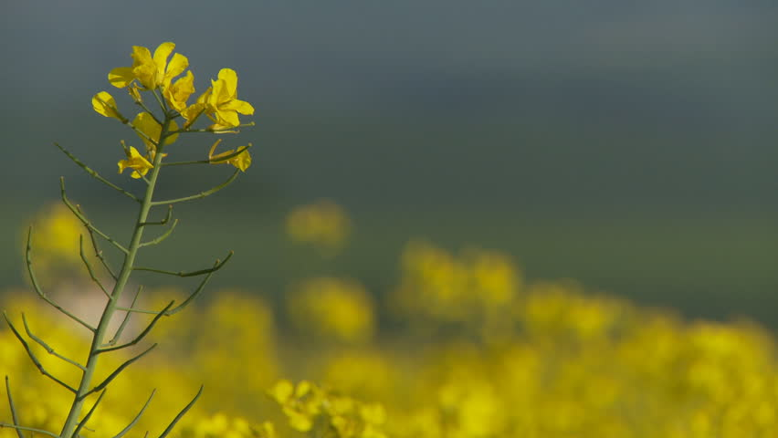 Close up shot of flower head in rape field pull focusing to countryside and house behind