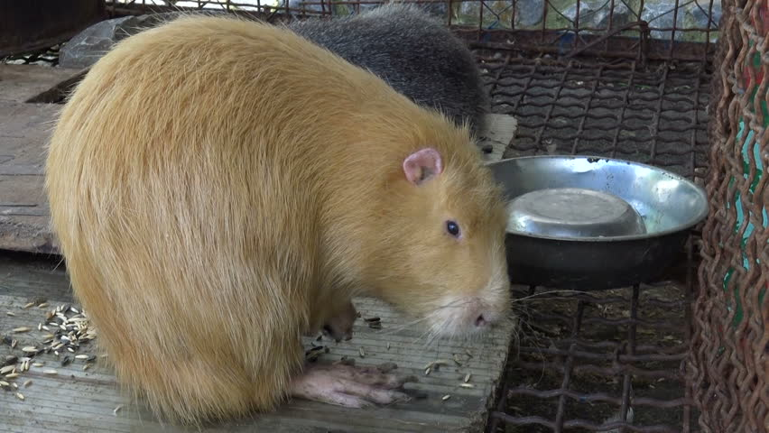 Active beautiful guinea pigs animals in zoo cage. Closeup. | Shutterstock HD Video #27189091