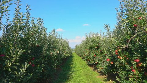 Travel along a row of green ripe apple trees