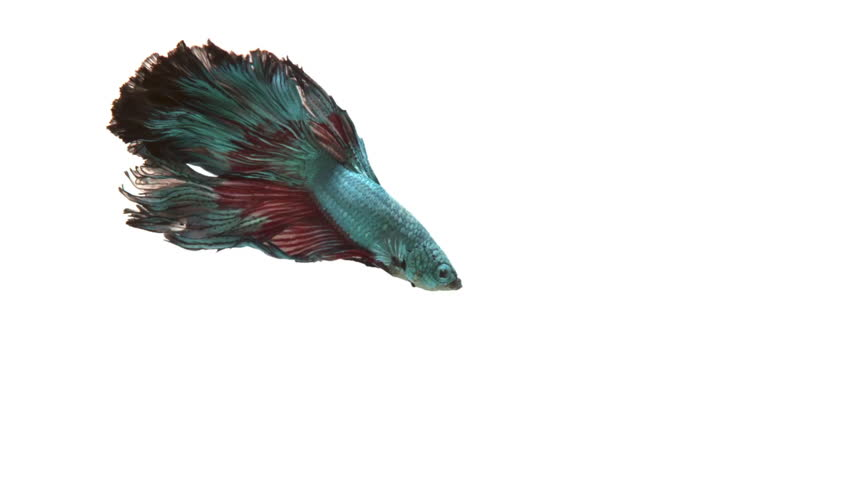 Half-Moon fighting fish in red and blue. Income will be contributed to fund the Siamese Fighting Fish Gallery for continuous conservation of the fighting fish species.