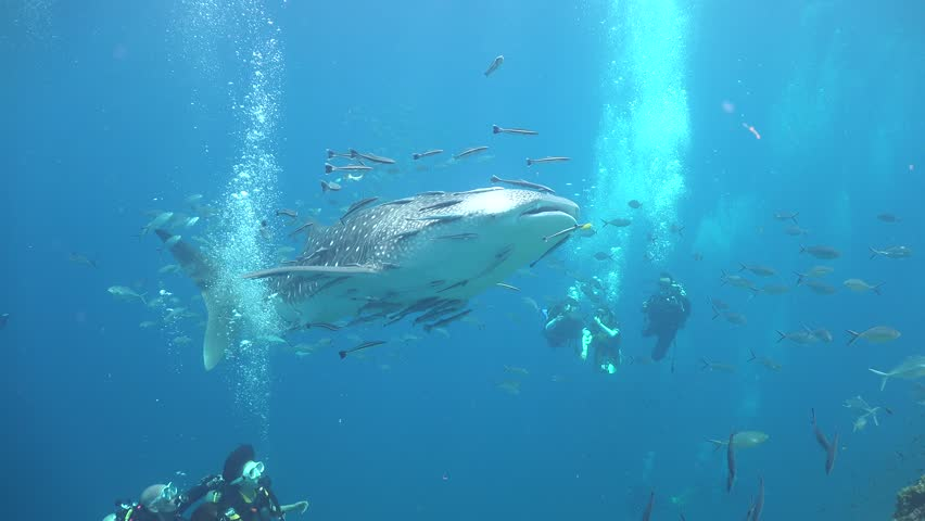 Reaction of divers to Whale shark  | Shutterstock HD Video #27244921