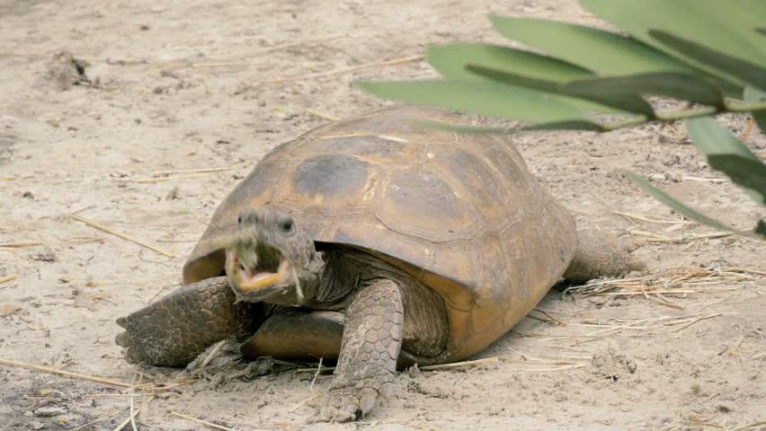 Gopher tortoise (Gopherus polyphemus) feeding in natural habitat