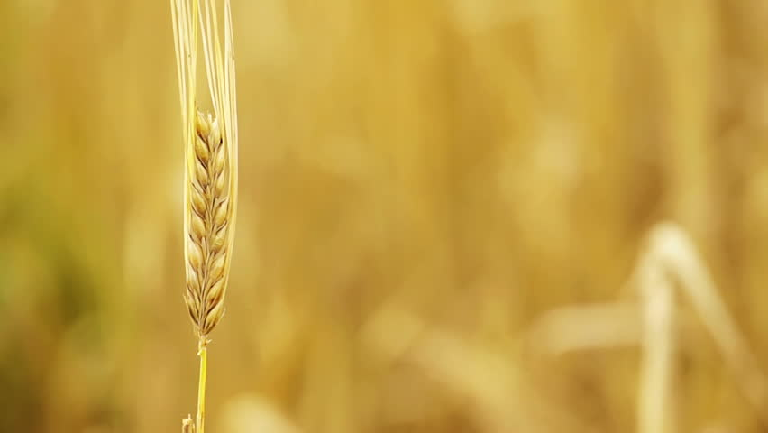 Golden ripe wheat in the farm field, moving in the blowing wind during the hot