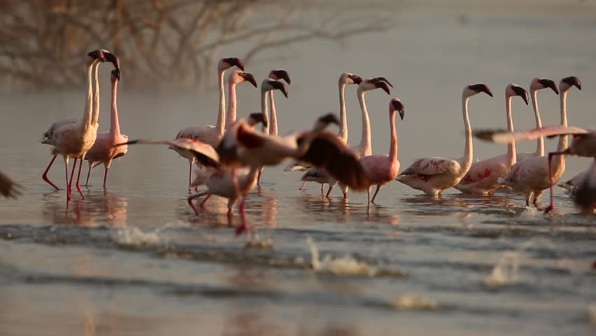 Slow motion of flamingo taking off