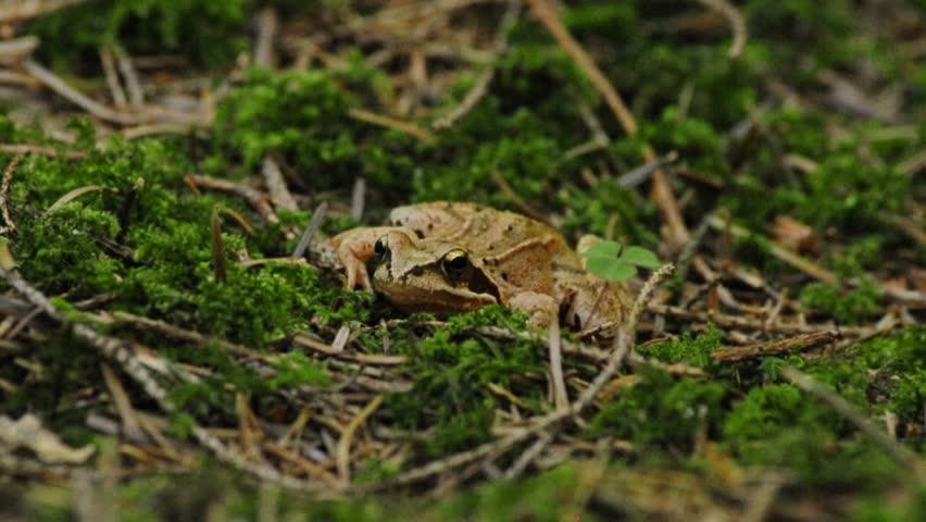 agile frog, Rana dalmatina #2738921