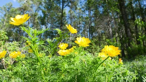 Yellow flowers of Adonis (Adonis vernalis). In the wild nature of the Altai Mountains.