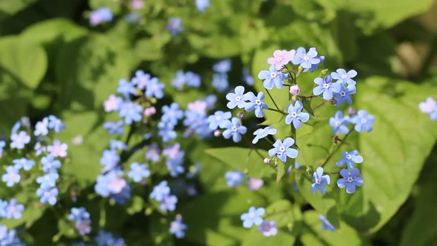 Small blue flowers in the garden. Nemophila flower field (baby blue eyes), blue flowers in the garden.