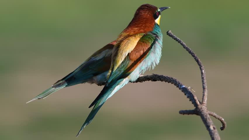 European bee-eater (Merops apiaster) | Shutterstock HD Video #27502147