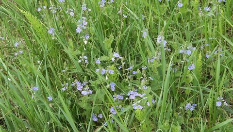 Blossoms Veronica ( Veronica chamaedrys ). Beautiful blue flowers swaying in the wind in the meadow